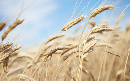 wheat-field-are.jpg